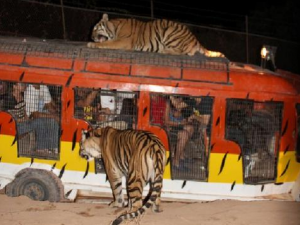 Close Encounter With Tigers