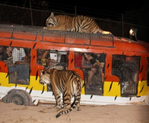 Zoobic Night Safari Close Encounter with Tigers